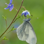 WOOD WHITE BUTTERFLY by Andy Sands, XRR