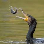 CORMORANT TOSSING A CARP by Nigel Cox, Amersham