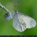 Wood White butterfly On Early Forget-me-not