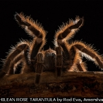 CHILEAN ROSE TARANTULA by Rod Eva, Amersham