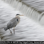 HERON ON A WEIR by Nigel Cox, Amersham