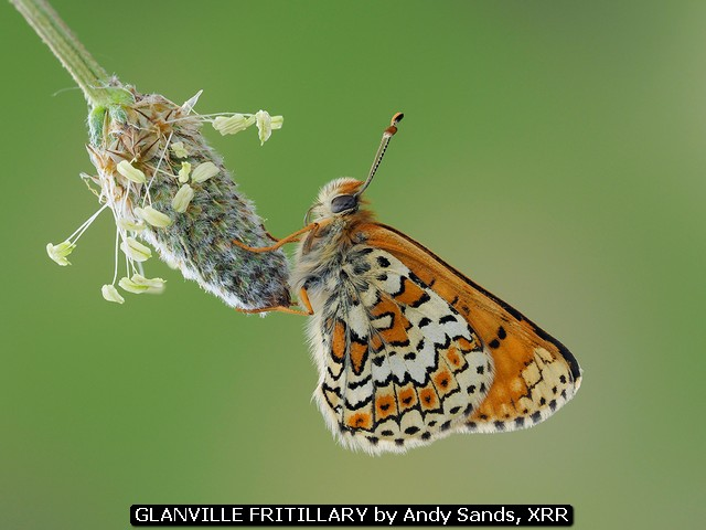 Glanville Fritillary by Andy Sands, XRR