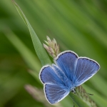 COMMON BLUE ON RYE GRASS by Bill Cooper, XRR