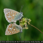 Mating Adonis Blue Butterflies by Andy Sands, XRR