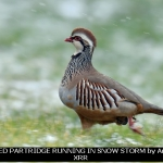 RED-LEGGED PARTRIDGE RUNNING IN SNOW STORM by Andy Sands, XRR