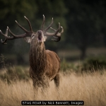 STAG ROAR by Nick-Bennett, Imagez