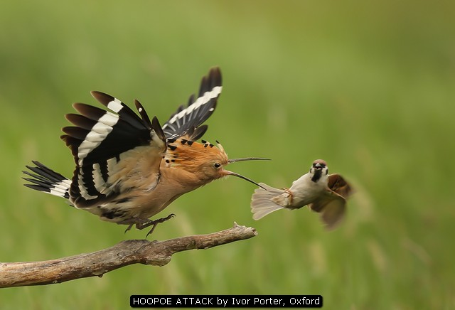 HOOPOE-ATTACK-by-Ivor-Porter-Oxford