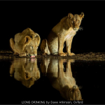 LIONS-DRINKING-by-Dave-Atkinson-Oxford