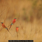 THREE-BEE-EATERS-by-Ivor-Porter-Oxford