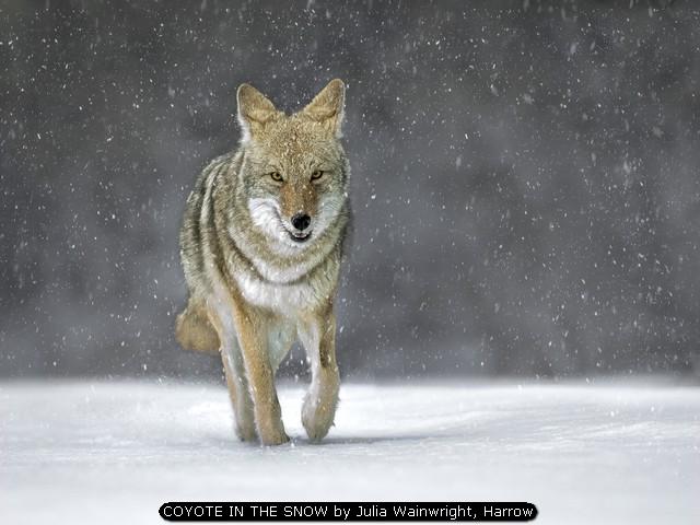 COYOTE IN THE SNOW by Julia Wainwright, Harrow