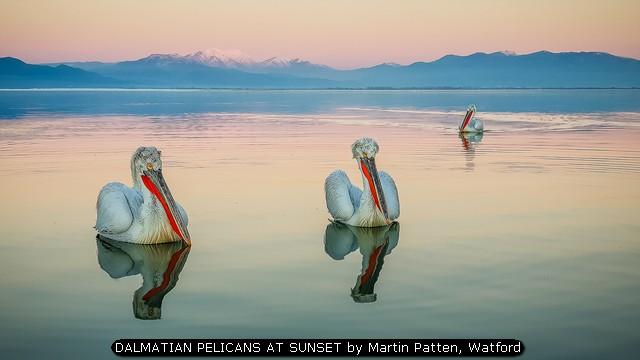DALMATIAN PELICANS AT SUNSET by Martin Patten, Watford