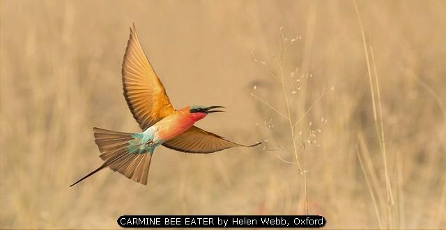 CARMINE BEE EATER by Helen Webb, Oxford