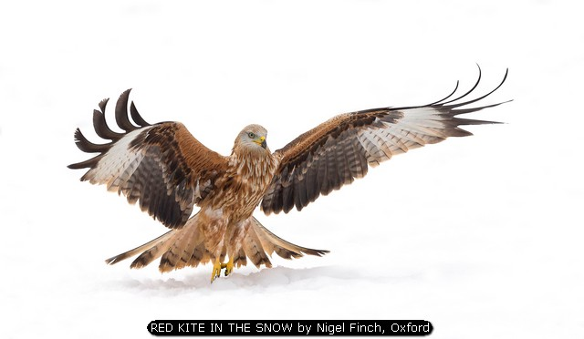 RED KITE IN THE SNOW by Nigel Finch, Oxford