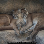SLEEPING PUMAS by Dave Belcher, Oxford